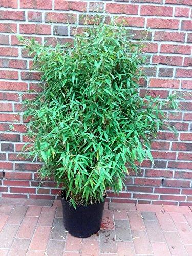 fargesia hecke Bambus, Höhe: 150-160 cm, Fargesia Jumbo, winterharte Pflanze für den Garten + Dünger
