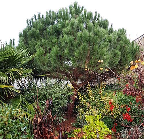 Future Exotics Pinie-Pinus pinea Pflanze Mittelmeer Kiefer Schirmkiefer winterhart