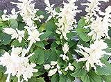 Tropischer Salbei - weiße Sorte - 84 samen