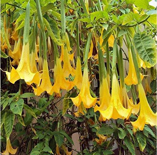 graines Bonsai Mandala graines Brugmansia Datura Rare plantas graines de fleurs en pot couleur mixte 50pcs jardin de plantes de décoration Q1