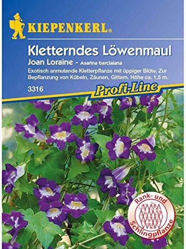 Asarina barclaiana Kletterndes Löwenmäulchen Joan Loraine