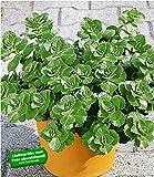 BALDUR-Garten Coleus Canin'Verpiss-Dich'-Pflanze, 3 Pflanzen Katzenschreck, Katzen-Stopp
