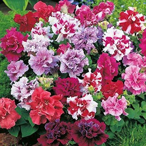 Graines de fleurs Double Pétunia Duo Mix F1 (Petunia x hybrida) annuel