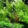 Wasserpflanzen 10 Bund ca 70 Aquariumpflanzen von 408 auf Du und dein Garten