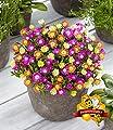 """BALDUR-Garten Winterharte Eisblumen""""Summer Mix"""", 3 Pflanzen Delosperma von Baldur-Garten - Du und dein Garten"""