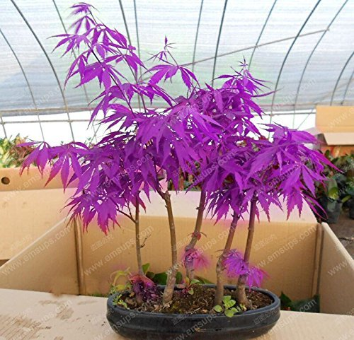 30-pieces-purple-maple-seeds