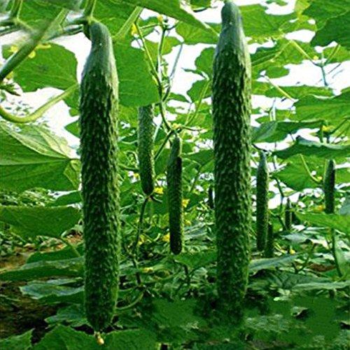 30 Pcs / paquet Concombre Graines Cour Jardin Cucumis semences Jardin Décoration Bonsai Graines de fleurs 6