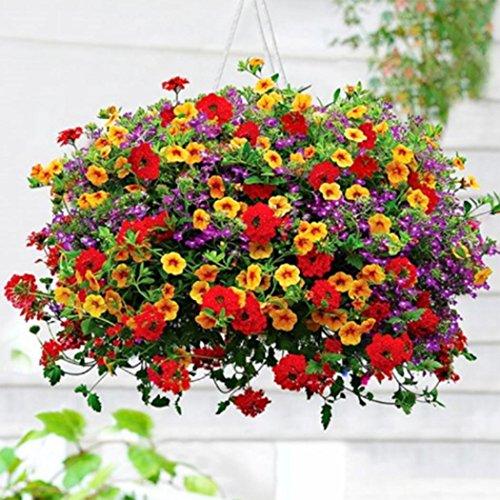 Ncient 1 confezione di semi sementi di gloria mattutina pensile morning glory semi fiori rari profumati piante per orto giardino balcone interni ed esterni