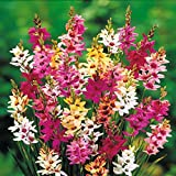 #6: Kriti Kalash Ixia Axia A Great Winter Flower 21 Bulbs (Orange, 3ft)