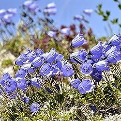 Blau Zwerg Glockenblume, Fairy Fingerhüte Samen - Campanula simsenlilie
