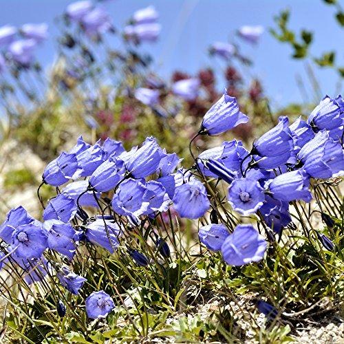 Blue Bellflower nano, semi Fairy Thimbles - Campanula pusilla