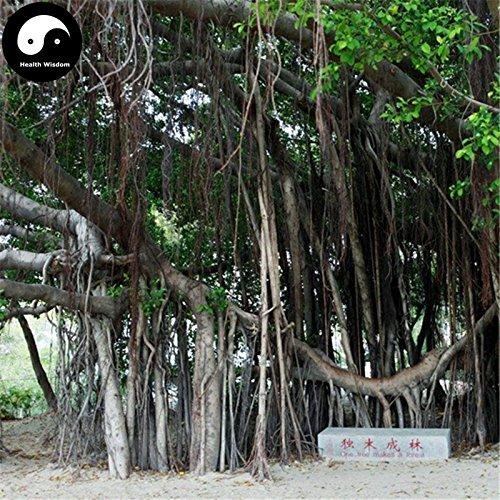 Kaufen Ficus Concinna Baumsamen 100pcs Pflanze Ficus benjamina Baum Xiao Ye Rong