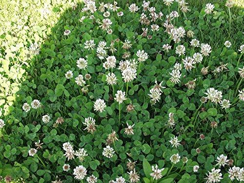 FERRY Bio-Saatgut Nicht nur Pflanzen: Wicke: 5Clover / Leguminosensamen - Red Sike NSA Berseem Trefoil Wicke
