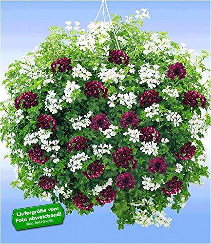 """BALDUR-Garten Hänge-Geranien-Mix""""Black & White"""", 6 Pflanzen Pelargonium peltatum Hängegeranie""""Royal Night®""""&""""White Glacier®"""""""