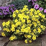 Dominik Blumen und Pflanzen, Fünffingerstrauch