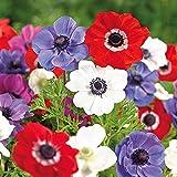 Humphreys Garden Anemone De Caen x 100 Bulbs Size 3/4
