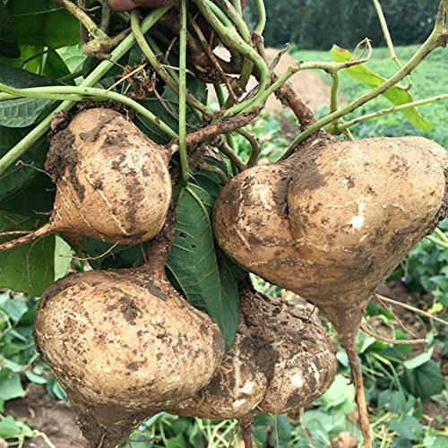 KINGDUO Egrow 20Stk/Pack Yambohnen Seeds Obst Gemüse Home Garten Samen Pflanzen