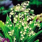 Maiglöckchen weiß - 5 pflanzen