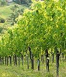 Infrarotheizung Bildheizung SLIM Stahlblech rahmenlos – extra schlank, 450 Watt, 70x60x1,5 cm - mit hochwertigem Druck und Schutzlack, Motiv Weingarten hoch
