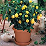 #6: Dwarf lemon Bonsai Tree Seeds, Grows in Full Sun or Partial Shade, Can Grow Indoors / Outdoors - BEE Garden Organic