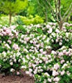 """BALDUR-Garten Rhododendron """"Bloombux®"""",1 Pflanze von Baldur-Garten auf Du und dein Garten"""