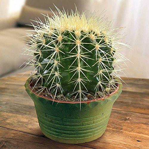 Echinocactus Cactus Grusonii - 1 cactus