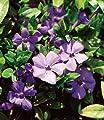 BALDUR-Garten Winterharter Bodendecker Vinca minor 'Blau' Immergrün, 3 Pflanzen von Baldur-Garten auf Du und dein Garten
