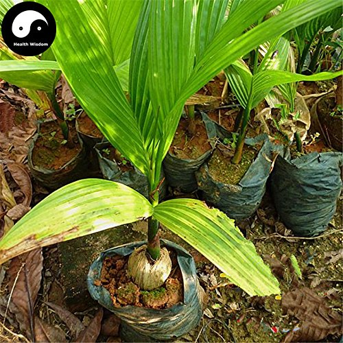Kaufen Areca Catechu Baumsamen 3pcs Pflanze Chinesische immergrünen Baum Betelnuss