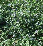 30 Vinca Stecklinge Bodendecker, immergrün