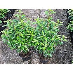 Portugiesischer Kirschlorbeer Containerpflanzen 40-60 cm