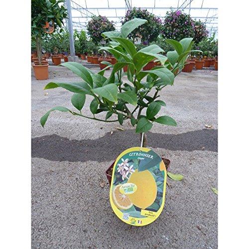 CITRONNIER MEYER / Citrus meyeri BIO