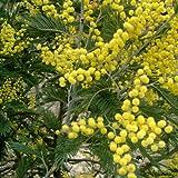 Acacia Dealbata Seeds immagine