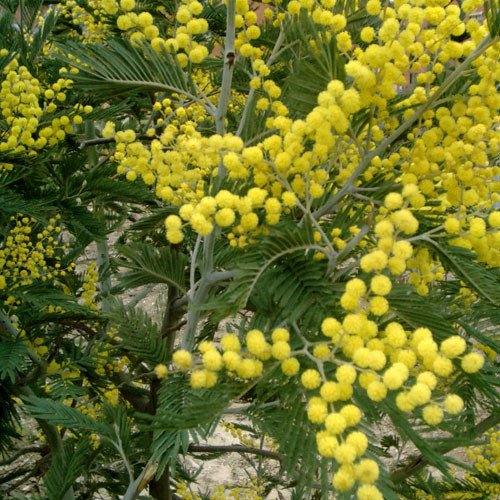 Plant World Seeds - Acacia Dealbata Seeds
