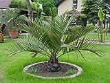 Seltene Jubaea chilensis 1 Honigpalme ca. 140-150 cm. Frosthart bis - 15 Grad und Freiland geeignet