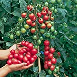 Premier Seeds Direct Tomato Sweet Million F1 includes 20 Seeds