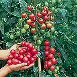Premier Seeds Direct TOM102 - Semillas para verduras