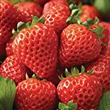lichtnelke - Erdbeerpflanze (Fragaria x ananassa 'Cupido® White') Erdbeere