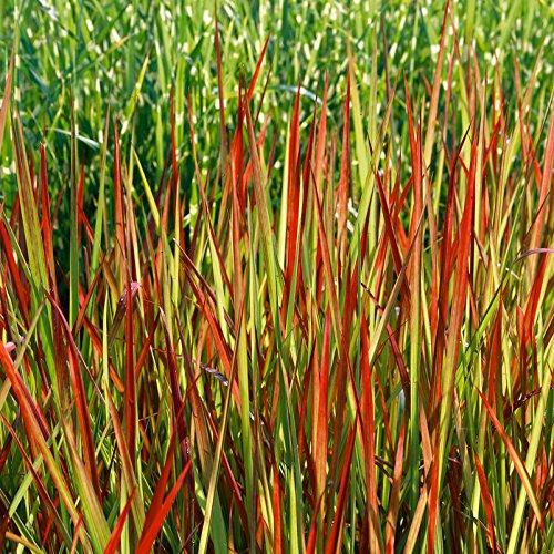 Imperata cylindrica RED BARON Japanisches Blutgras leuchtende Fernwirkung