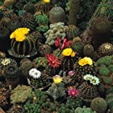 JustSeed - Flower - Cactus - Crown Mix - 100 Seeds - Spectacular