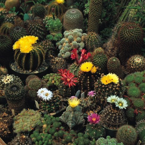 just-seed-flower-cactus-crown-mix-100-seeds-spectacular