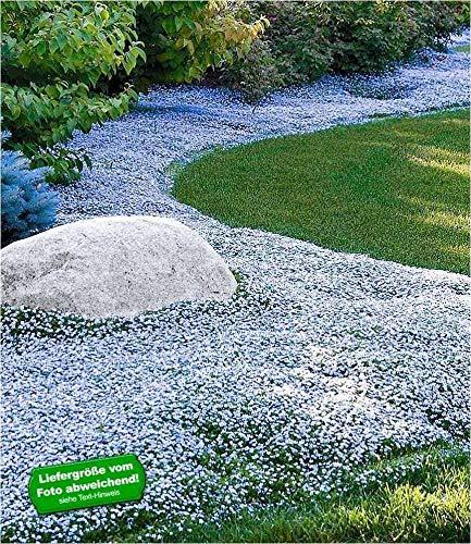 BALDUR-Garten Winterharter Bodendecker Isotoma 'Blue Foot®' Blauer Bubikopf Gaudich Rasen-Ersatz, 3 Pflanzen Isotoma fluviatilis trittfest