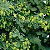 50 semillas / pack HOPS - Humulus lupulus - Semillas - Brew su propia cerveza Hoy - Devuelve año tras año - Plantas Rizomas Forma