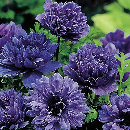 AIMADO sementi giardino - Raro Mix di Anemone Semi sementi da fiore giardino resistenza al freddo Pianta perenne, perfetti per decorare delle aiuole o bordure