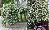 Trachelospermum jasminoides Sternjasmin 75 cm +/-