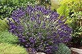 Lavendel 'Hidcote Blue' – Lavandula angustifolia - 1 winterharte Pflanzen im 3 Liter Container mit leuchtend blauen Blüten als Hecke oder Busch - von Garten Schlüter - Pflanzen in Top Qualität