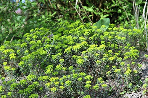 Euphorbia cyparissias 'Fens Ruby' - 3 Pflanzen im 0,5 lt. Vierecktopf