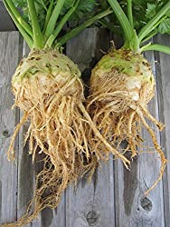 Celeriac Imported Root Celery Leaf- 50 seeds pack by Raunak Seeds (2 packets combo)