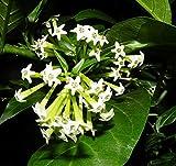 #3: Shubham Nursery Ratrani, Night Blooming Jasmine, Cestrum Nocturnum Live Plant