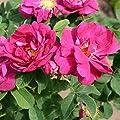 Historische Rose Officinalis (Apotheker-Rose) - Topfrose Buschrose im 3 Liter-Topf von Rosa Gallica bei Du und dein Garten