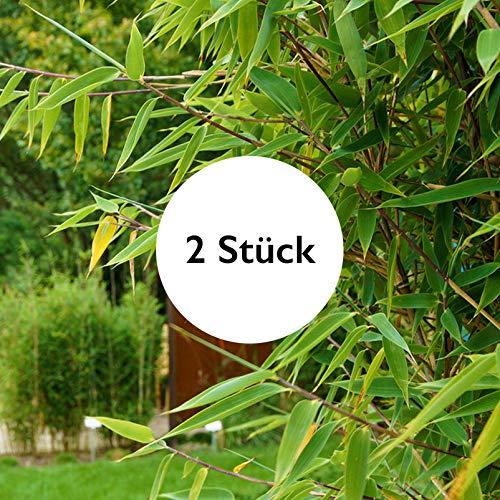 Gartenbambus Größe